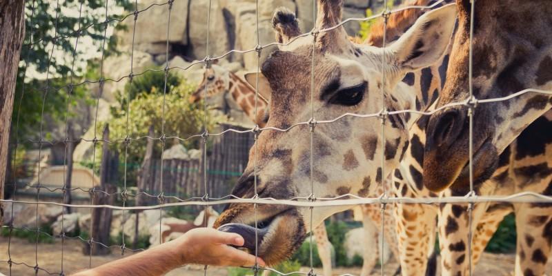 Giraffe im Safaripark