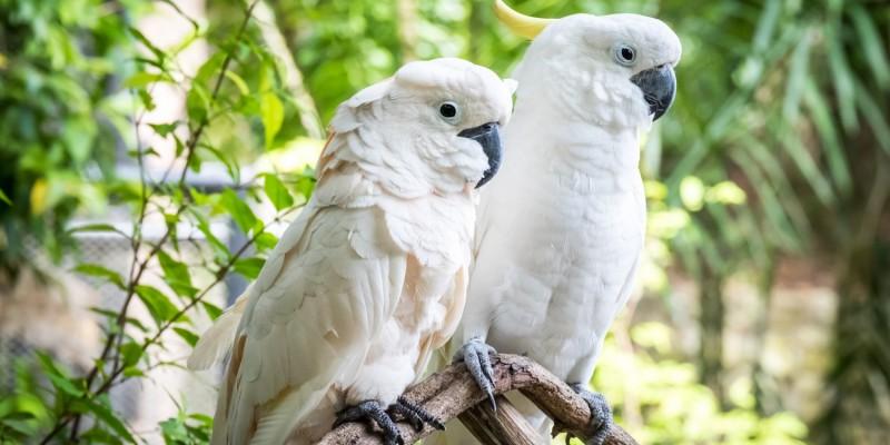Kakadus im Zoo