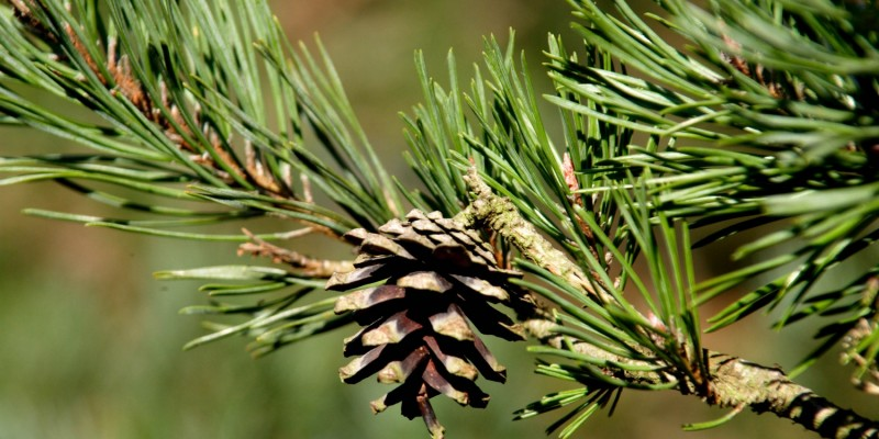 Tannenzapfen an Nadelbaum